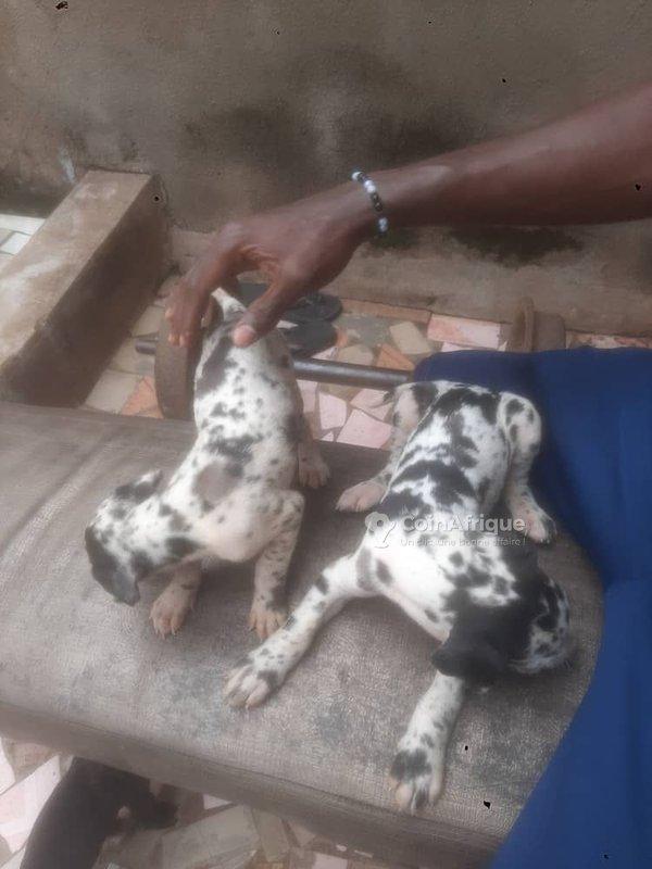 Chiens Chiot Dogue Allemand En Cote D Ivoire Coinafrique Cote D Ivoire