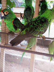 Perroquet vert à calotte orange