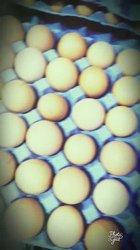 Perroquet - œufs