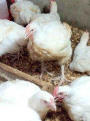 Poulets de chair 3 kg
