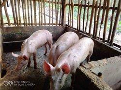 Porc pur sang