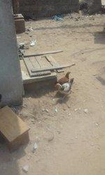 Poulets et poussins africains