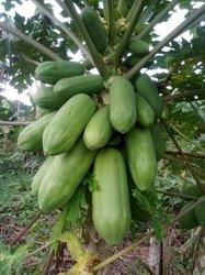 Semence de papayers red royal