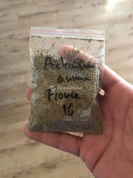 Semences d'Artemisia