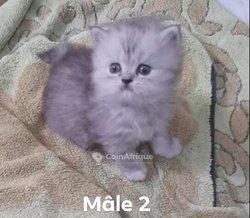 Chaton persan chinchilla