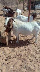Chèvre Race Boer