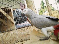 Perroquet gris de gabon