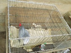 Perroquet gris  du gabon