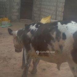 Bœuf élevage