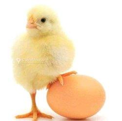 Poussins et œufs goliath