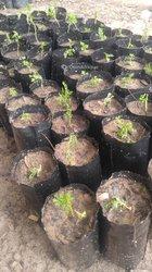 Artemisia anua