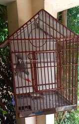 Perroquets gris