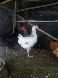 Poule goliath noir - blanche