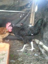 Coq Goliath noir