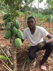 Semence de papayers