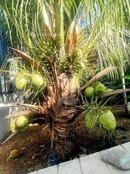 Semence de cocotiers nains