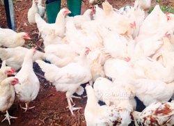 Recherche clients des poulet coquelet