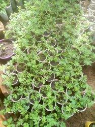 Plante artemesia