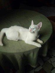 Chat blanc turc