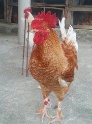 Coq goliath