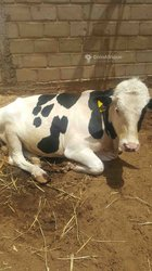 Géniteur hollandais Holstein
