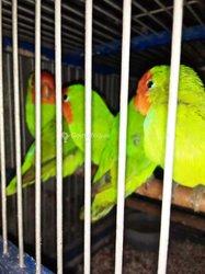 Oiseaux Perruche Inséparable