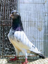 Pigeons ordinaires