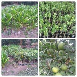 Jeunes plants fruitiers