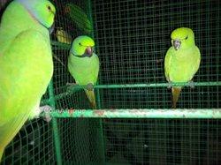 Perroquet / perruches à collier