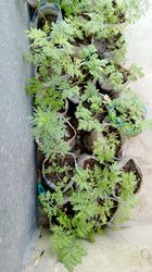 Plantes artemisias