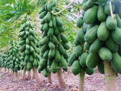 Cocotiers nains - papaye solo