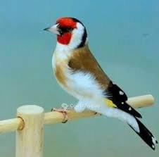 Oiseau Maknol