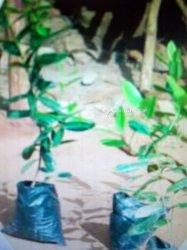 Plants de lauriers et goyaviers