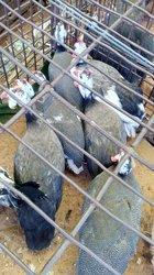 Pintades - Poulets ordinaires - Moutons