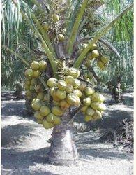 Pépinières de cocotiers nains et lauriers