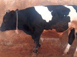 Vache Holstein 10mois