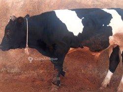 Vache Holstein 10 mois