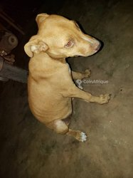 Chiot Pitbull Red Nose