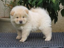 Chiots Chowchow