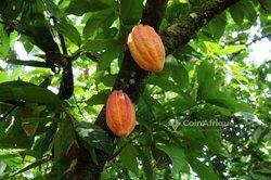 Vente Plantation de cacao 5 ha - Tiassalé PK 96