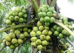 Champ de cocotiers