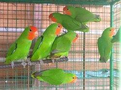 Perroquets inséparables
