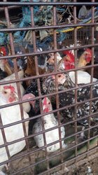 Pintades - poulets ordinaires