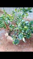 Orangers et papayers nains