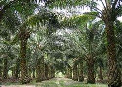 Vente Plantation de palmier à huile