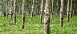 Vente plantation d'hévéas 45 ha  - Agboville