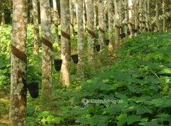 Vente plantation d'hévéa  38 ha - Agboville