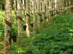 Vente plantation d'hévéas 8019 m2 - Agboville