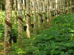 Vente  plantation d'hévéas 15 ha - Zoukougbeu