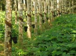 Vente  plantation d'hévéas   - S ikensi